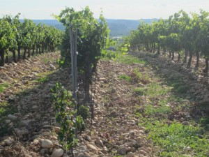 The vines in Chateauneuf de Pape