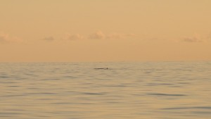 Look closely.  A pair of humpback whales on their way south.  They were a bit shy.